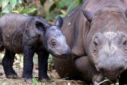El pequeño rinoceronte de Sumatra está amenazado de extinción desde hace un millón de años