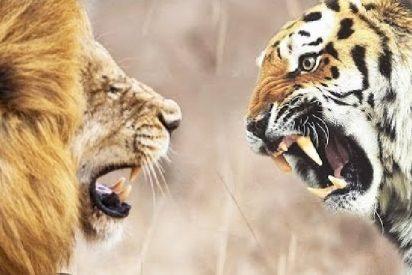 El tigre y la leona se compinchan para atacar a traición al caballo
