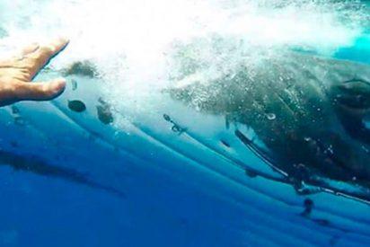¡Increíble!: Ballena protege a una buzo de la amenaza de un tiburón