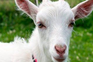¿Tendrías a una cabra como mascota en casa?