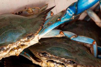 El cangrejo azul, el último invasor del Delta del Ebro que es un manjar en el plato