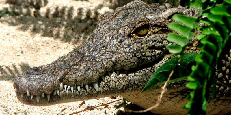 """Así es la especie de cocodrilos """"mutantes"""" subterráneos que alerta a los científicos"""