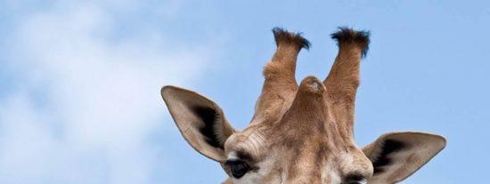 Mueren las tres jirafas del Parque de Cabárceno tras incendiarse la cabaña de su recinto