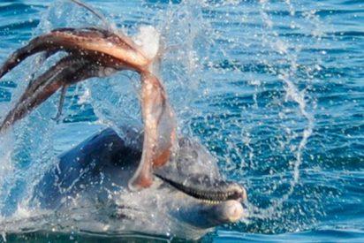 Pulpo gigante mata por asfixia a un delfín