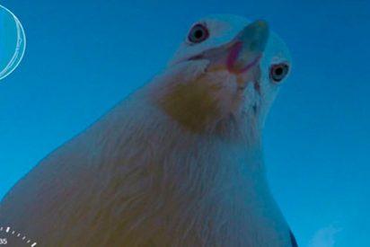 Gaviota roba una GoPro y esta es su curiosa grabación