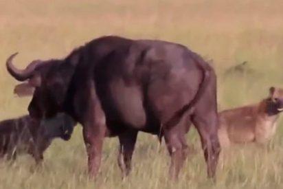 Hienas hambrientas le arrancan los testículos a un búfalo y se lo comen vivo