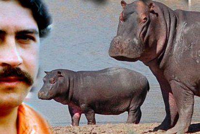 Los 40 hipopótamos de Pablo Escobar que amenazan con aplastar a Colombia