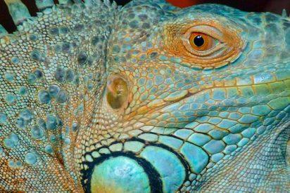 Iguanas descongeladas y cabreadas atacana la gente en Florida