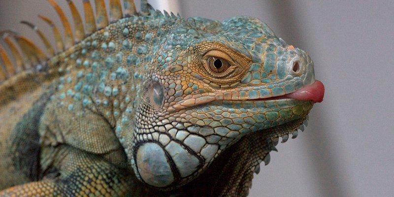 Iguanas congeladas caen de los árboles en Florida por el frío del ciclón bomba