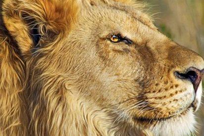 El video del león caballeroso que 'besa' la pata de un perro