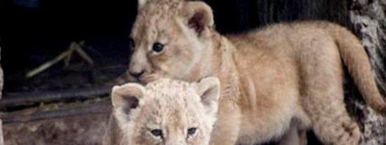 ¡Insólito!: El zoo sueco que sacrificó a nueve cachorros de león sanos por falta de espacio