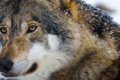 La feroz y sangrienta batalla entre lobas por defender a sus crías