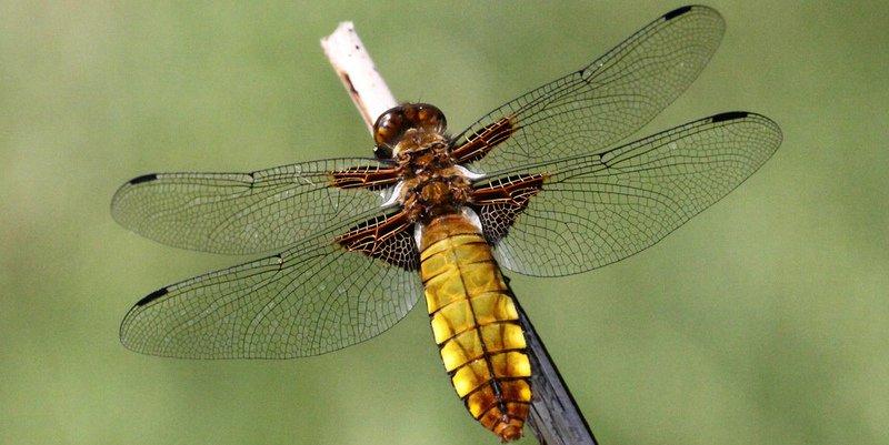 Explicación dual para el misterioso origen del ala de los insectos