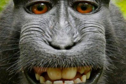 Los conflictos ayudan a los monos a tomar mejores decisiones