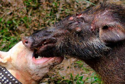 Así son las sangrientas y sucias peleas a muerte entre perros y jabalíes en Indonesia
