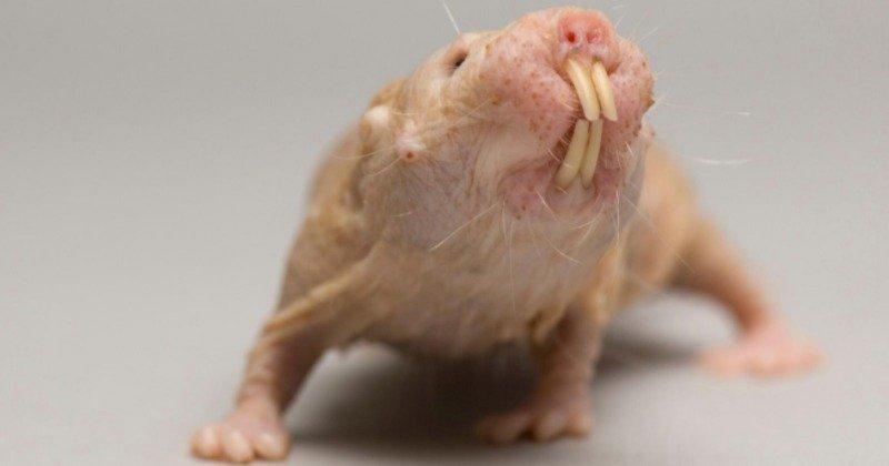 Las ratas topo desnudas se saltan las leyes de la mortalidad y no fallecen de viejas