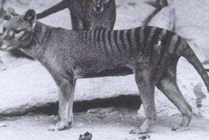 El misterioso tigre de Tasmania revela sus secretos 80 años después de su extinción