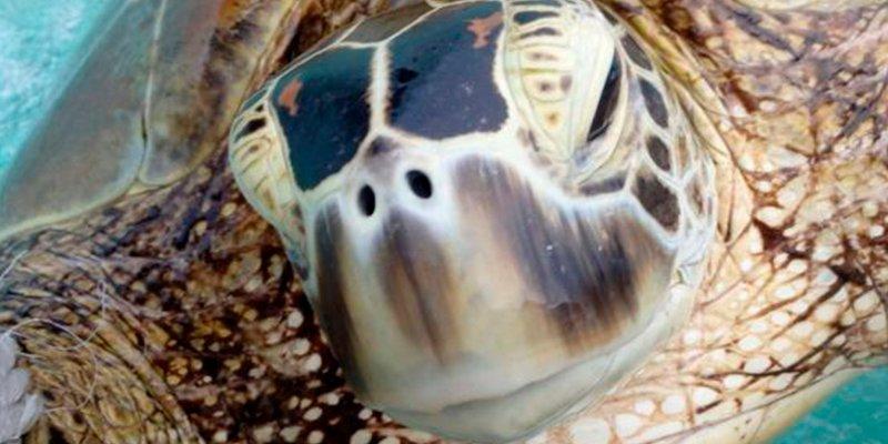 ¿Sabes por qué casi el 100% de las tortugas verdes marinas son hembras?