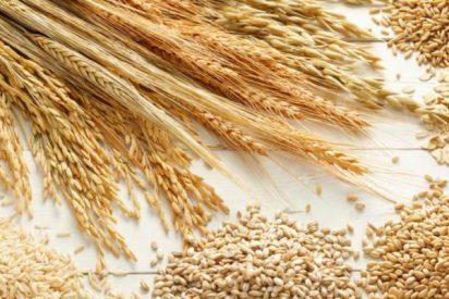 Crean una nueva semilla de trigo permite hasta seis cosechas al año
