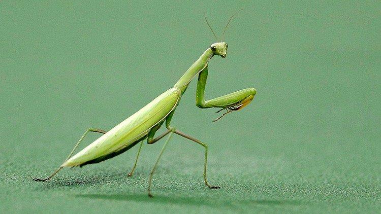 Se descubre que la mantis religiosa tiene una asombrosa visión 3D