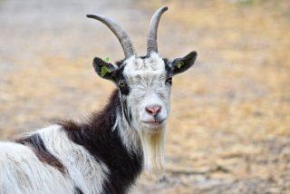 ¿Te atreves con este acertijo para escolares sobre ovejas y cabras?