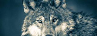 Este lobo vuelve a la vida para vengarse de su cazador
