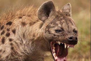 Así emboscan los feroces leones a una hiena despistada