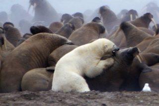 Cuando la morsa se le indigesta al oso polar