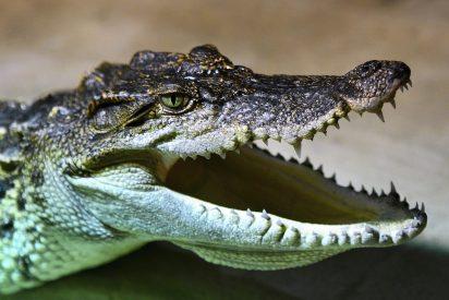 El caimán intenta comerse a la tortuga, fracasa y se convierte en el hazmerreir de las redes sociales