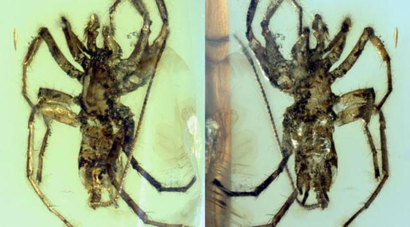 Una extraña araña con cola aparece preservada perfectamente en ámbar de 100 millones de años