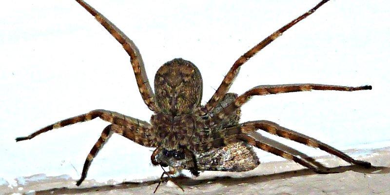 Esta araña caza más rápido que ninguna otra especie animal del Planeta Tierra