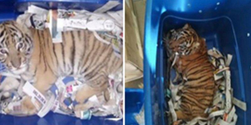 La Policía encuentra a este cachorro de tigre en un paquete de Correos