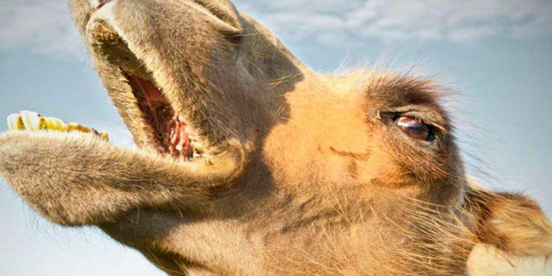 Multados por inyectar bótox a sus camellos en un concurso de belleza saudita