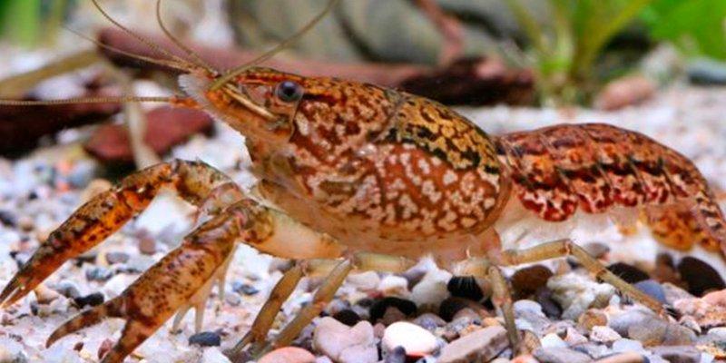 El cangrejo de mármol, el mutante que se clona a sí mismo, invade el planeta a gran velocidad