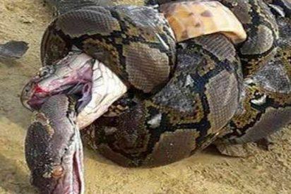 ¿Sabes cómo termina esta lucha entre una cobra real y una pitón?
