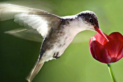 Resuelto el misterio del maravilloso y único vuelo del colibrí