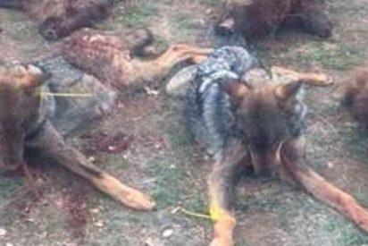 Misterio: Hallan cuatro lobos muertos y uno moribundo en la provincia de Valladolid