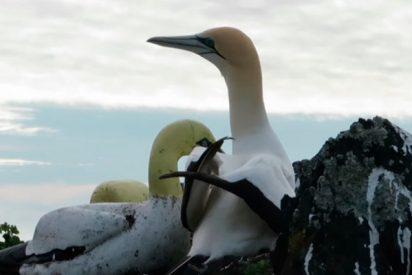 Muere el ave famosa por estar enamorada de una estatua