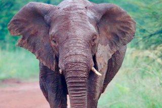 Este Elefante disparatado pisotea a un granjero indio hasta la muerte