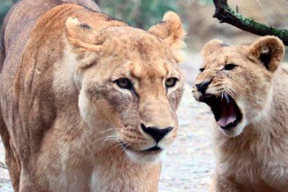 Así atrapan a este incauto buitre dos feroces leonas en un zoo