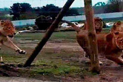 El feroz y terrible ataque de una manada de leones a un coche con dos niños