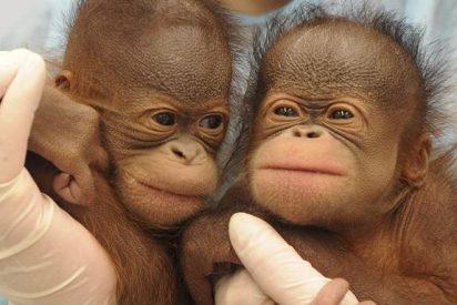 Borneo pierde más de 100.000 orangutanes en 16 años por la destrucción de su hábitat