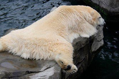 Los osos polares podrían extinguirse mucho antes de lo previsto