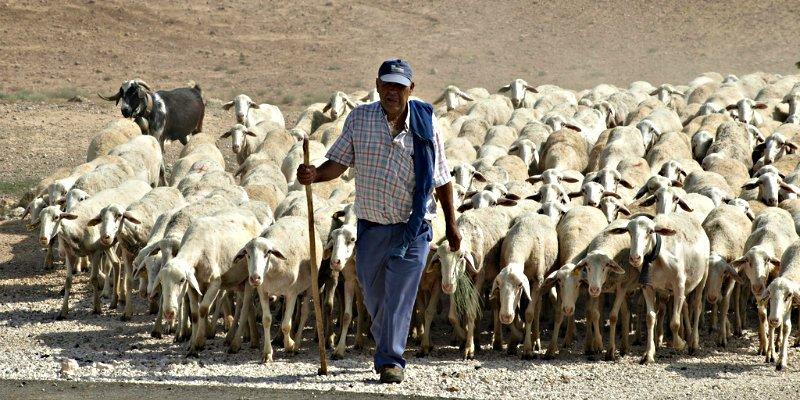 Pastores y rebaños son ya 'una especiem en extionción' por la creciente fluctuación en las lluvias