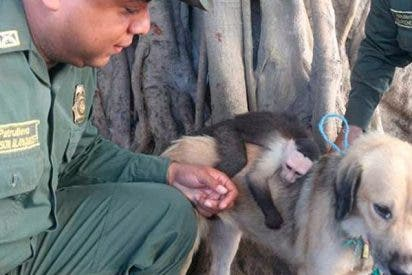 Esta perrita adoptó a un mono capuchino y ni las autoridades ambientales han podido separarlos