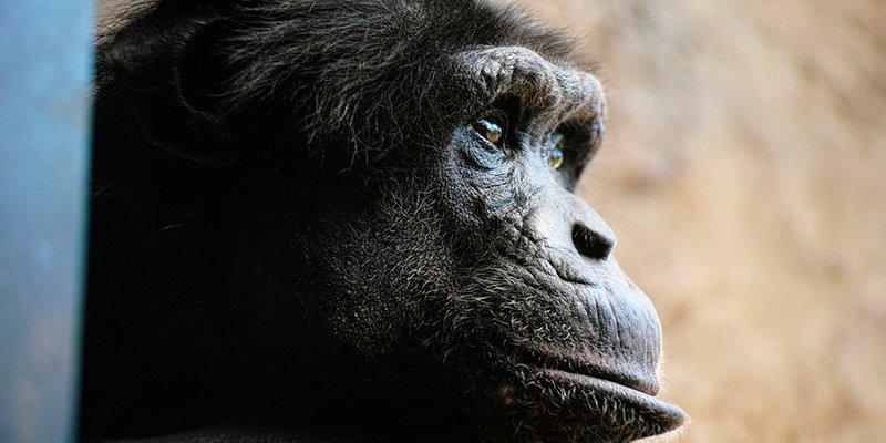 Nace híbrido humano y chimpancé en un laboratorio de EE.UU
