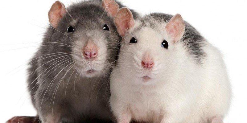 Solidaridad animal: Las ratas también intercambian servicios básicos
