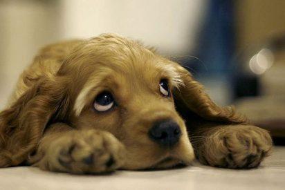 Cortar el rabo y las orejas a tus mascotas es ya ilegal