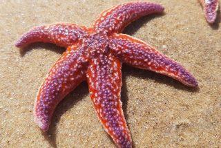 Las estrellas de mar están cerca de extinguirse por una misteriosa enfermedad