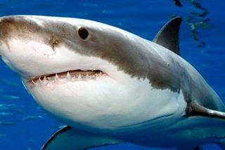 """Así se abre paso un tiburón en un """"mar de peces"""""""